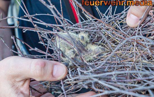 Vogelnest droht vom Baum zu fallen