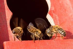 KS T1 Bienen 31052018-36
